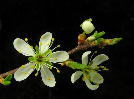 flor endrino_4