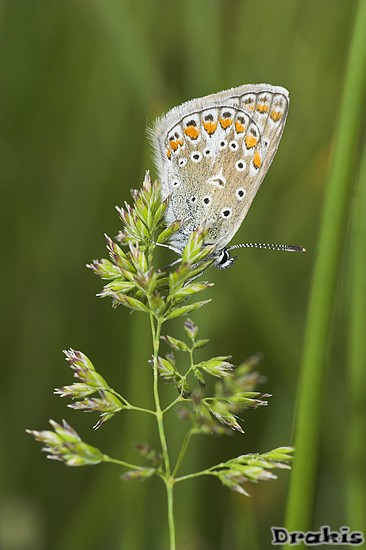 IMG_4190-01 Polyommatus icarus