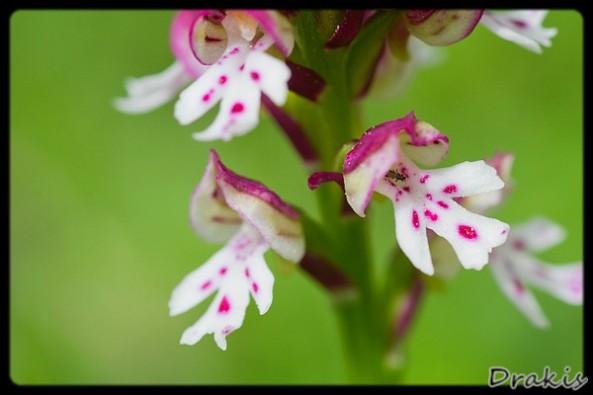 Orchis ustulata detalle 2