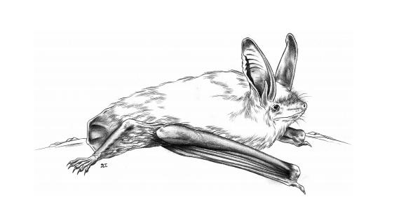 Myotis bechsteinii