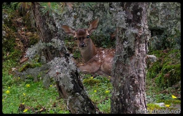 028 ciervo del año